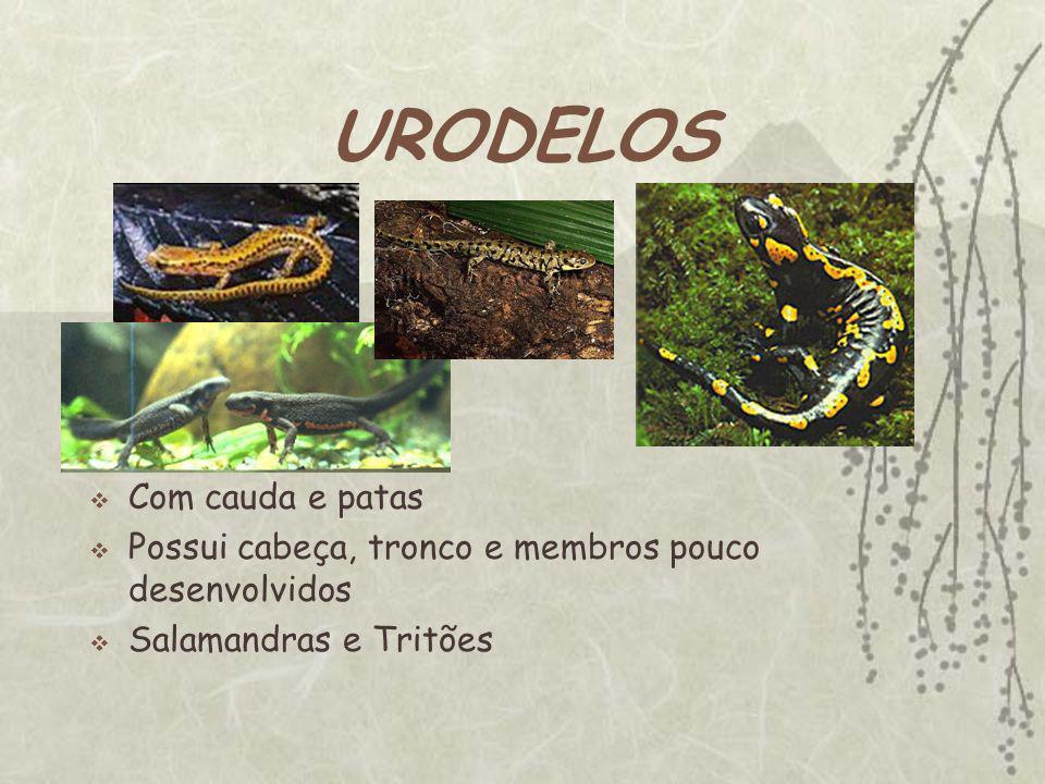 URODELOS Com cauda e patas Possui cabeça, tronco e membros pouco desenvolvidos Salamandras e Tritões