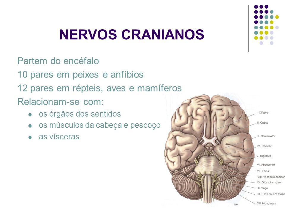 NERVOS CRANIANOS Partem do encéfalo 10 pares em peixes e anfíbios 12 pares em répteis, aves e mamíferos Relacionam-se com: os órgãos dos sentidos os m