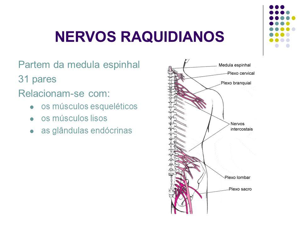 NERVOS RAQUIDIANOS Partem da medula espinhal 31 pares Relacionam-se com: os músculos esqueléticos os músculos lisos as glândulas endócrinas
