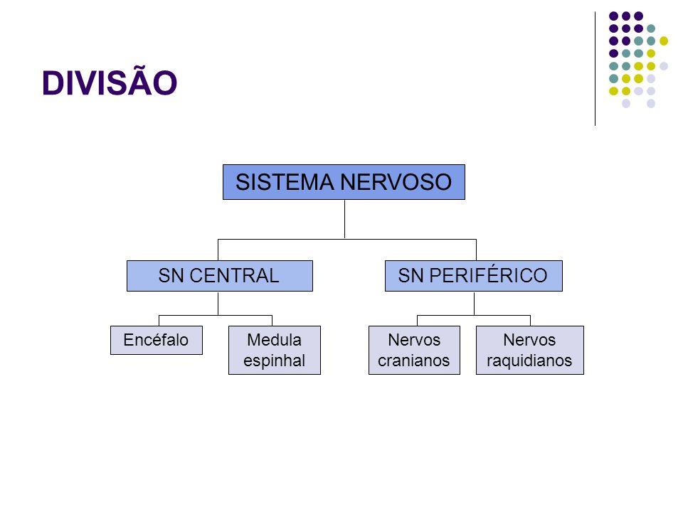 DIVISÃO SISTEMA NERVOSO SN CENTRALSN PERIFÉRICO EncéfaloMedula espinhal Nervos cranianos Nervos raquidianos