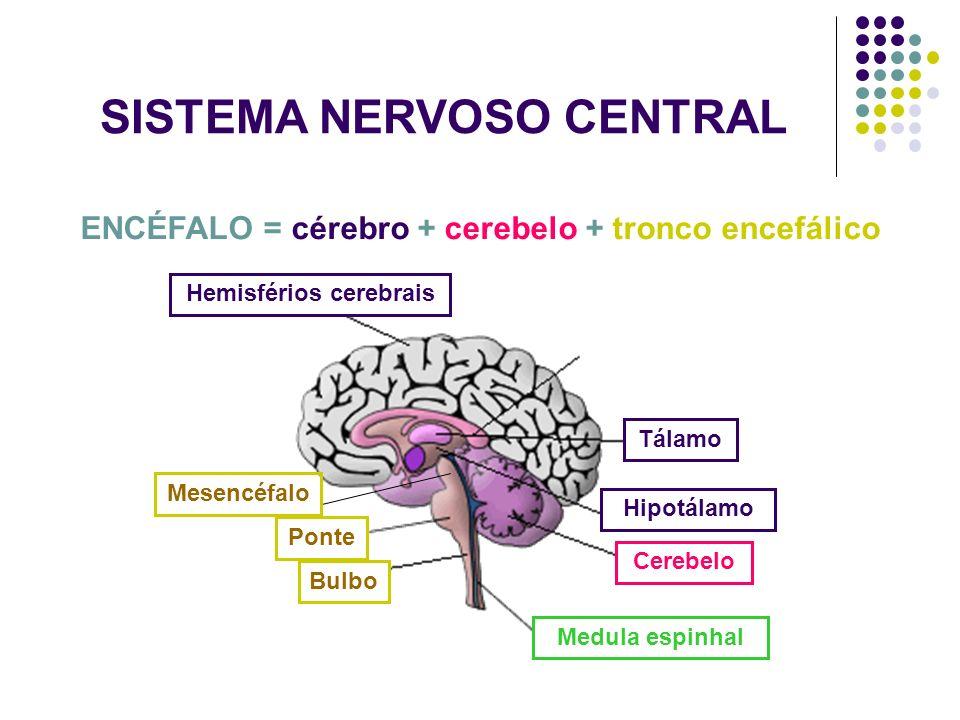 SISTEMA NERVOSO CENTRAL ENCÉFALO = cérebro + cerebelo + tronco encefálico Mesencéfalo Ponte Bulbo Hemisférios cerebrais Tálamo Hipotálamo Cerebelo Med