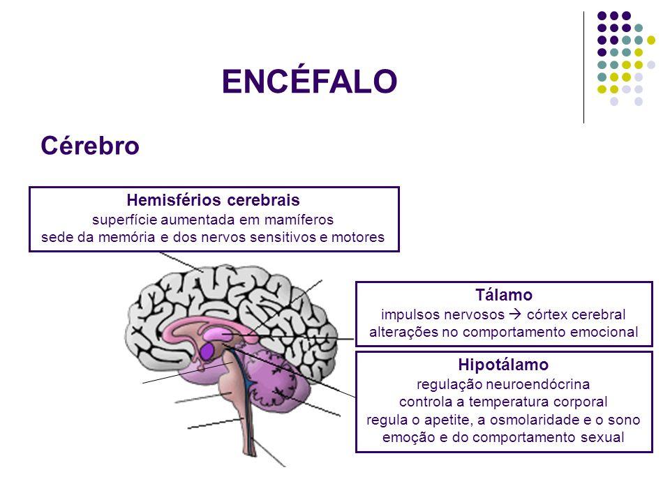 ENCÉFALO Hemisférios cerebrais superfície aumentada em mamíferos sede da memória e dos nervos sensitivos e motores Tálamo impulsos nervosos córtex cer