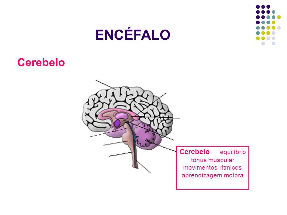 ENCÉFALO Cerebelo Cerebelo equilíbrio tônus muscular movimentos rítmicos aprendizagem motora