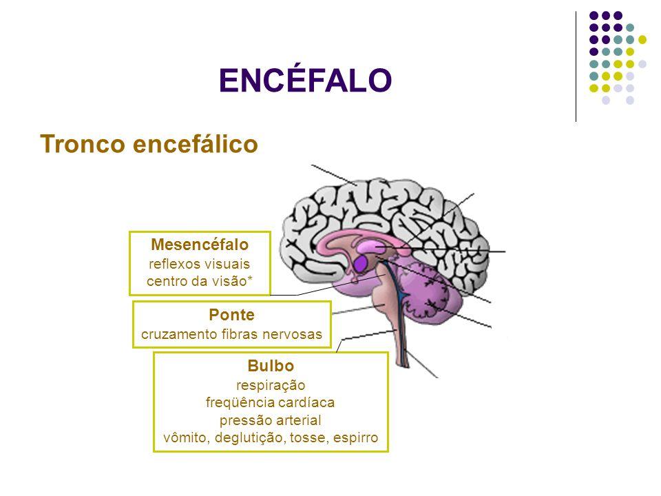 ENCÉFALO Tronco encefálico Mesencéfalo reflexos visuais centro da visão* Ponte cruzamento fibras nervosas Bulbo respiração freqüência cardíaca pressão
