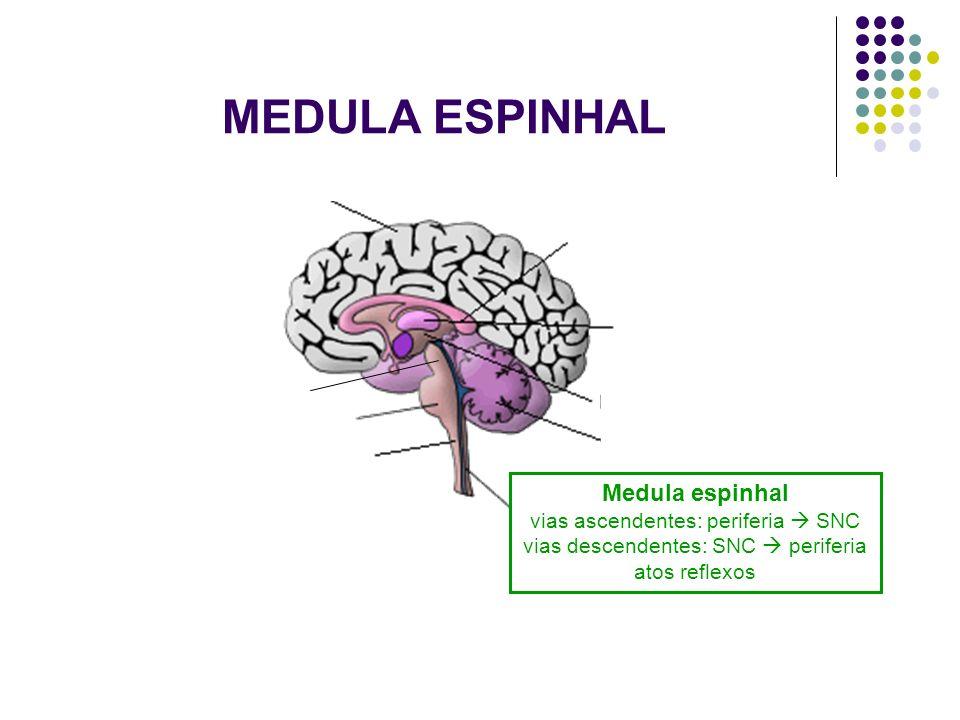 MEDULA ESPINHAL Medula espinhal vias ascendentes: periferia SNC vias descendentes: SNC periferia atos reflexos