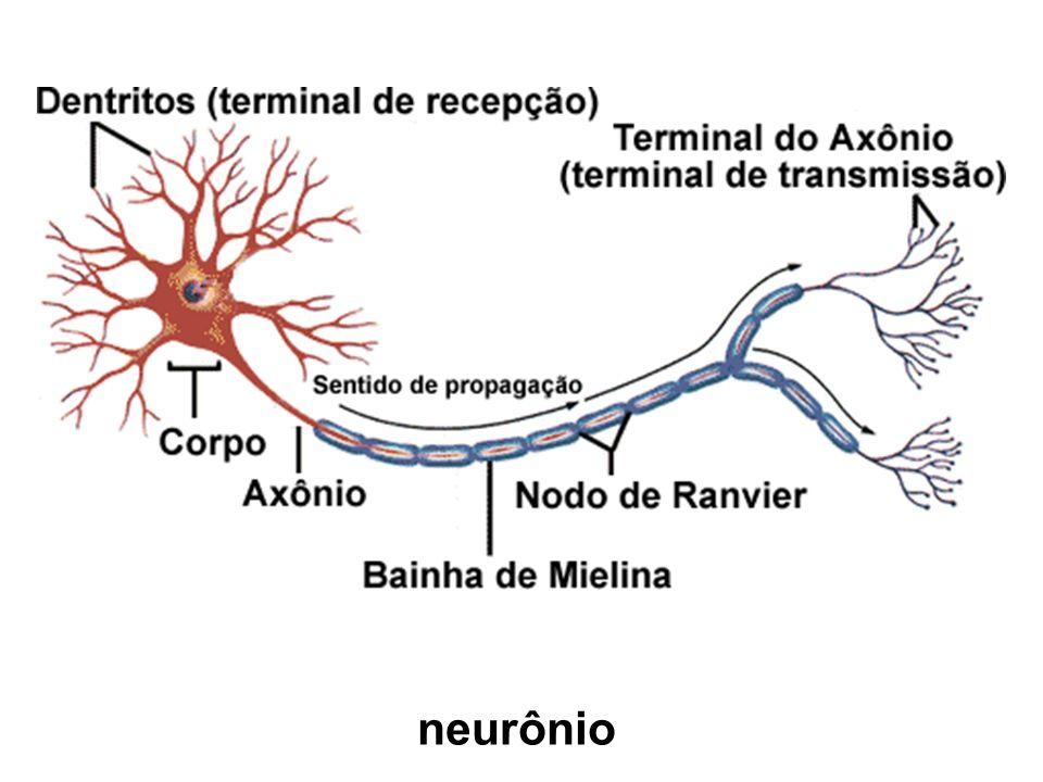 Encéfalo Apresenta uma substância cinza periférica (for- mada por corpos celulares de neurônios) e uma substância branca interna (formada por axônios de neurônios) Formado por: Cérebro – controle da atividade voluntária, in- terpretação de estímulos recebidos, memória, aprendizagem, raciocínio, linguagem falada e escrita, emoções
