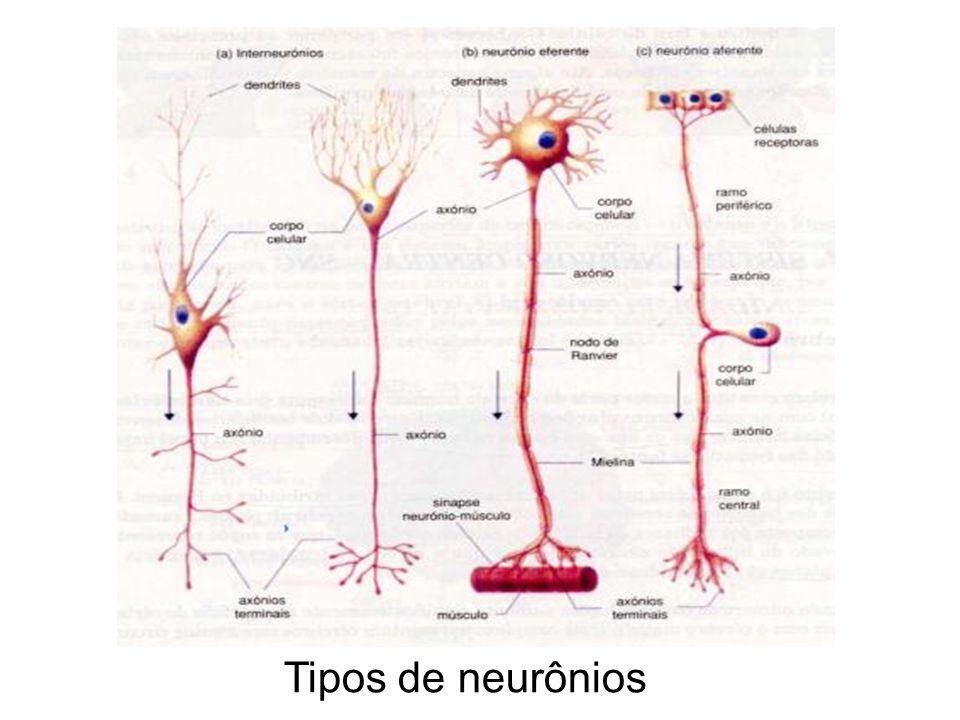 Geração e Propagação do Impulso Nervoso O impulso nervoso se propaga de forma unidi- recional (dendrito corpo celular axônio)