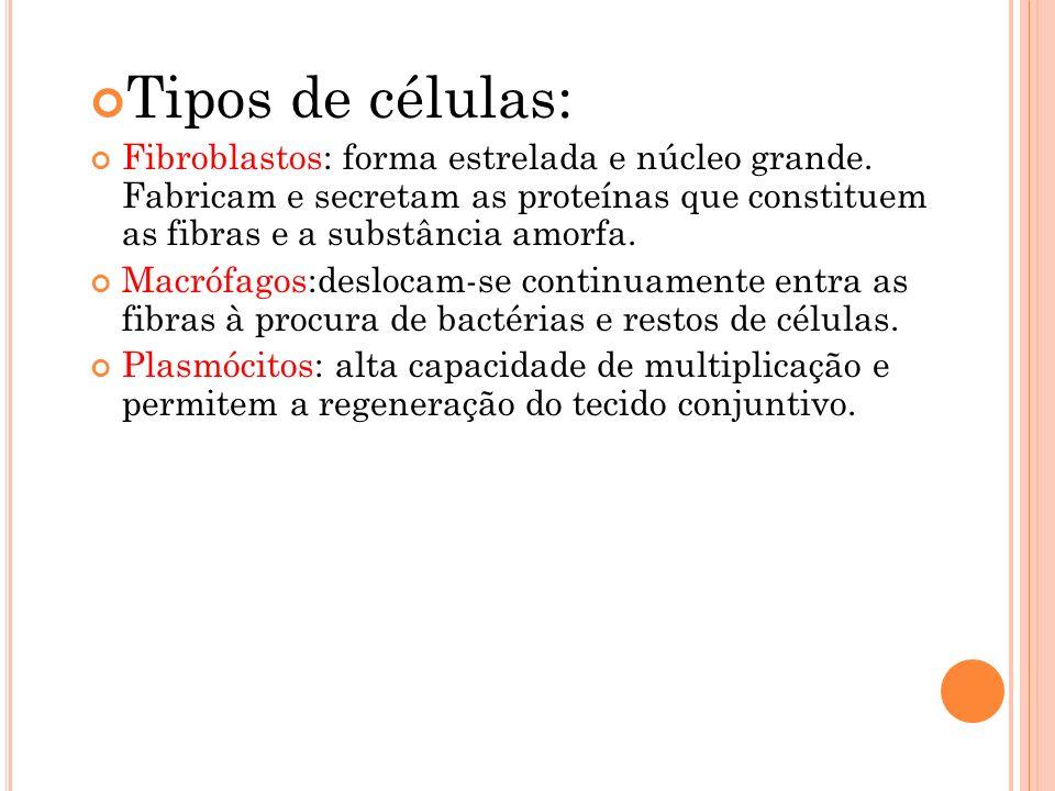 Tipos de células: Fibroblastos: forma estrelada e núcleo grande.