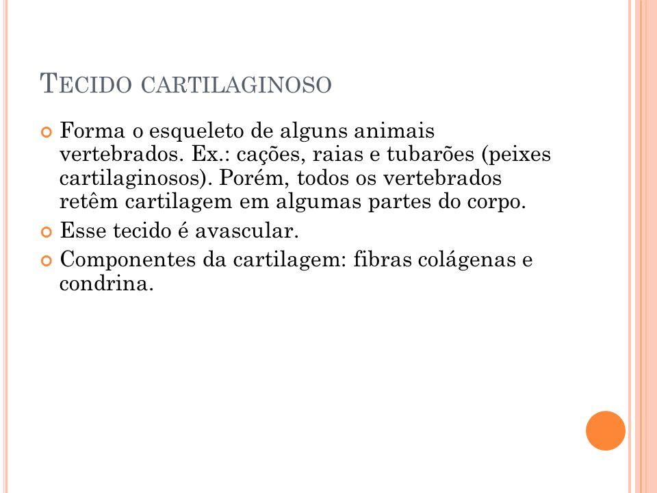 T ECIDO CARTILAGINOSO Forma o esqueleto de alguns animais vertebrados. Ex.: cações, raias e tubarões (peixes cartilaginosos). Porém, todos os vertebra