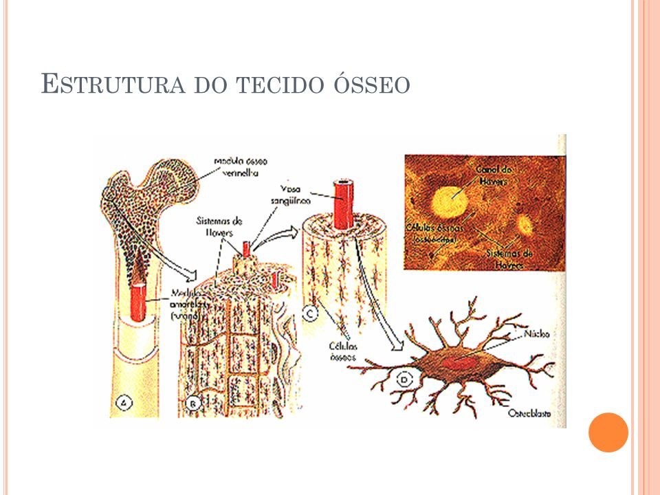 E STRUTURA DO TECIDO ÓSSEO