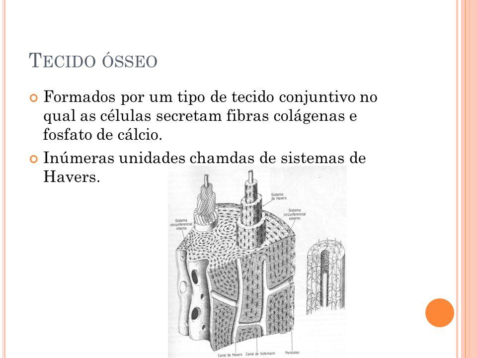 T ECIDO ÓSSEO Formados por um tipo de tecido conjuntivo no qual as células secretam fibras colágenas e fosfato de cálcio. Inúmeras unidades chamdas de