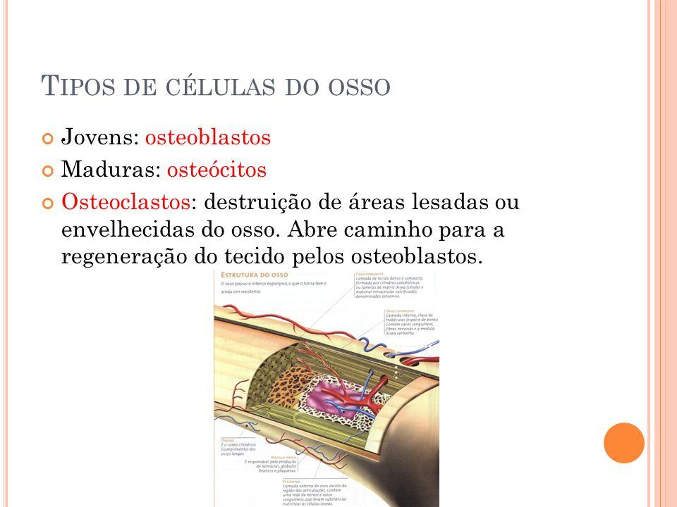 T IPOS DE CÉLULAS DO OSSO Jovens: osteoblastos Maduras: osteócitos Osteoclastos: destruição de áreas lesadas ou envelhecidas do osso.