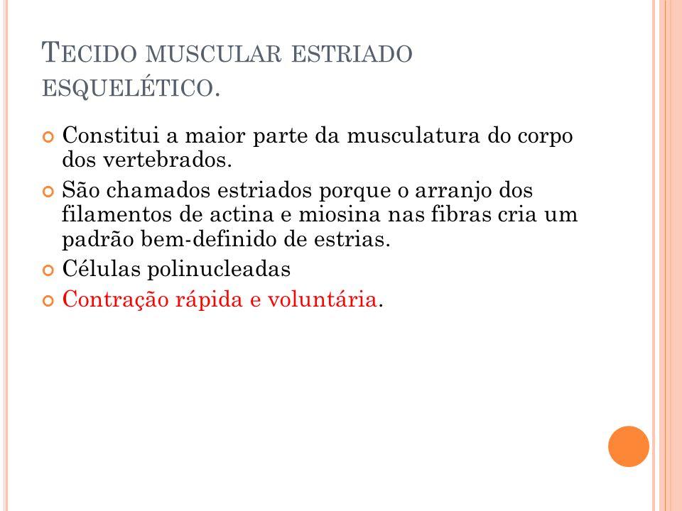 T ECIDO MUSCULAR ESTRIADO ESQUELÉTICO. Constitui a maior parte da musculatura do corpo dos vertebrados. São chamados estriados porque o arranjo dos fi