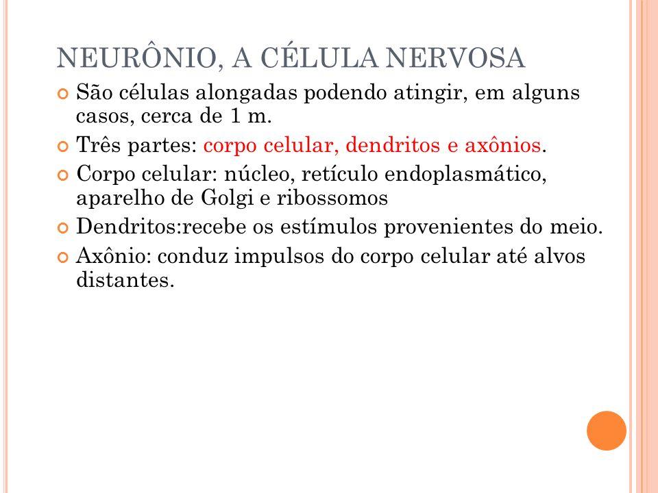 NEURÔNIO, A CÉLULA NERVOSA São células alongadas podendo atingir, em alguns casos, cerca de 1 m. Três partes: corpo celular, dendritos e axônios. Corp