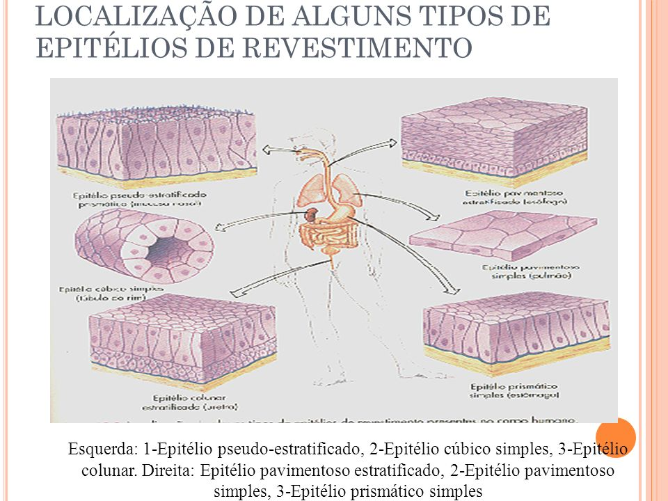 LOCALIZAÇÃO DE ALGUNS TIPOS DE EPITÉLIOS DE REVESTIMENTO Esquerda: 1-Epitélio pseudo-estratificado, 2-Epitélio cúbico simples, 3-Epitélio colunar. Dir