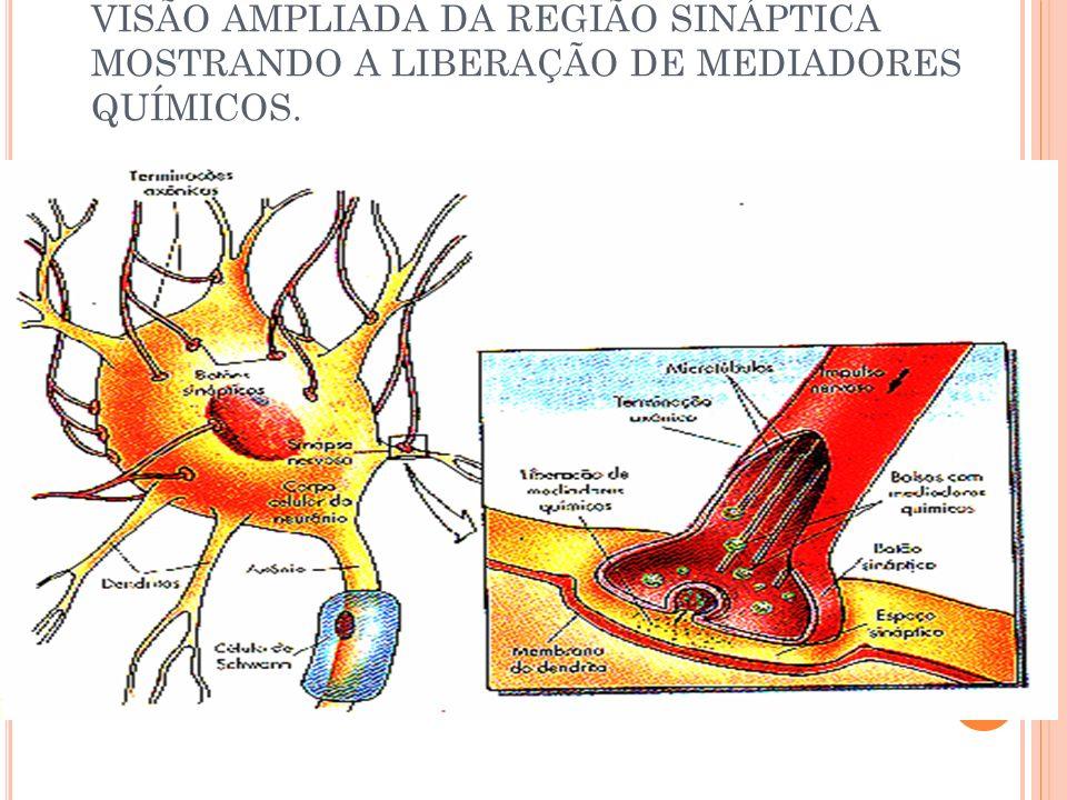 VISÃO AMPLIADA DA REGIÃO SINÁPTICA MOSTRANDO A LIBERAÇÃO DE MEDIADORES QUÍMICOS.