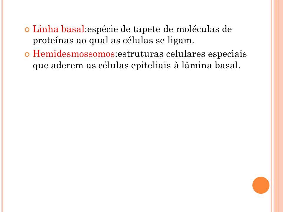 Linha basal:espécie de tapete de moléculas de proteínas ao qual as células se ligam. Hemidesmossomos:estruturas celulares especiais que aderem as célu