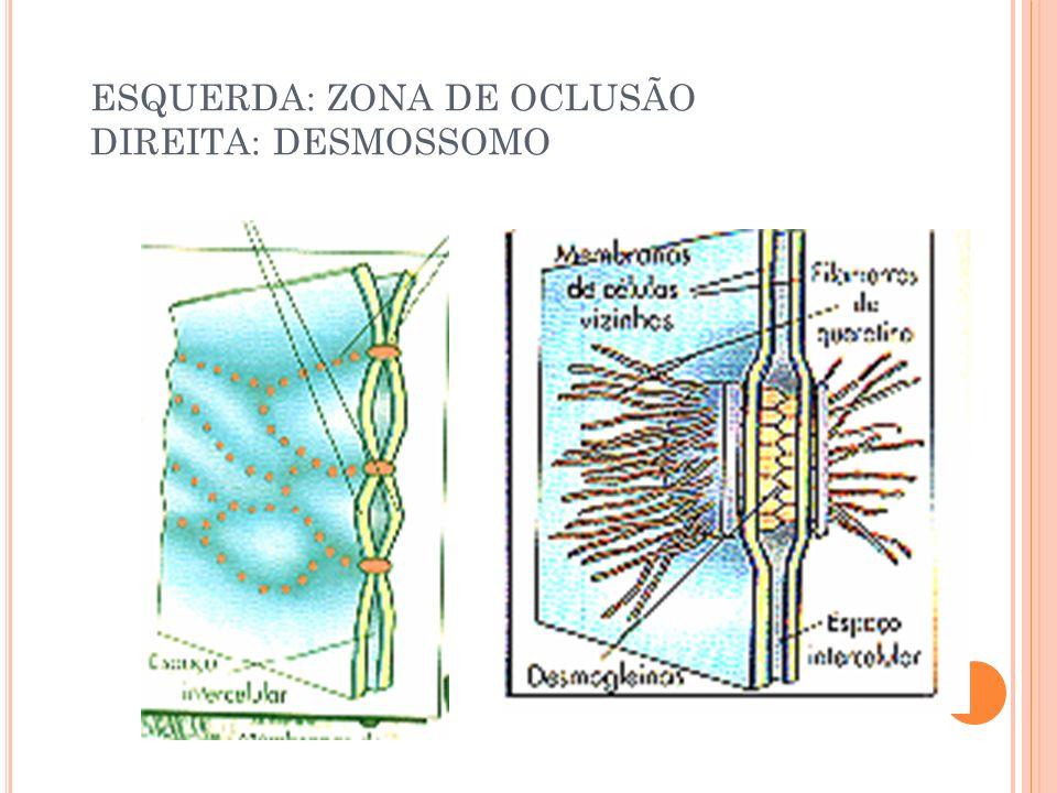 ESQUERDA: ZONA DE OCLUSÃO DIREITA: DESMOSSOMO