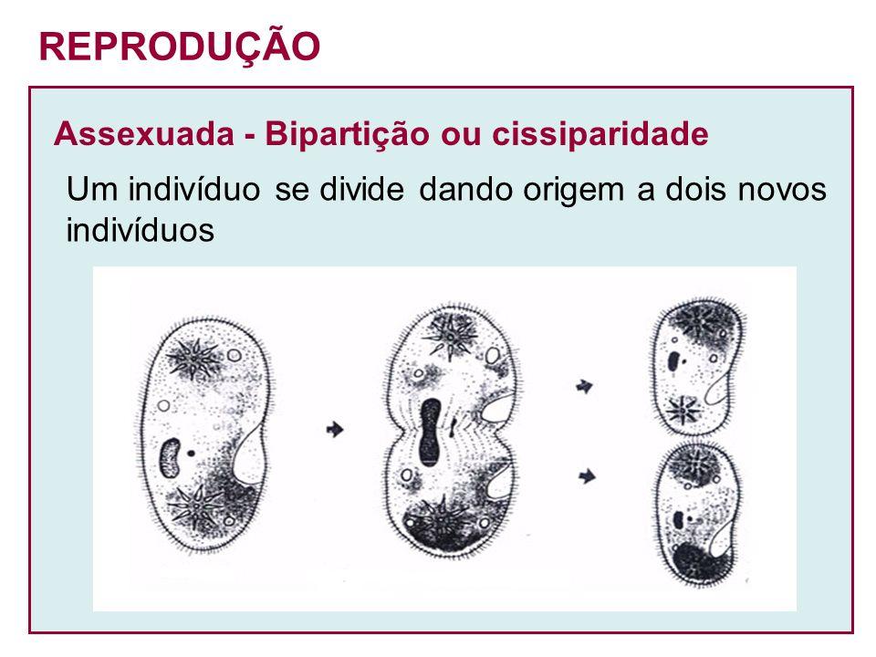 Assexuada - Bipartição ou cissiparidade Um indivíduo se divide dando origem a dois novos indivíduos REPRODUÇÃO