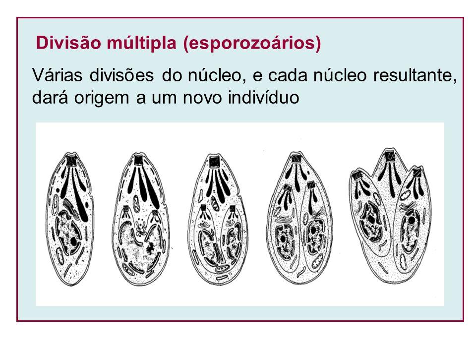 Divisão múltipla (esporozoários) Várias divisões do núcleo, e cada núcleo resultante, dará origem a um novo indivíduo