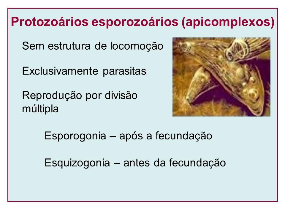 Protozoários esporozoários (apicomplexos) Exclusivamente parasitas Reprodução por divisão múltipla Sem estrutura de locomoção Esporogonia – após a fec