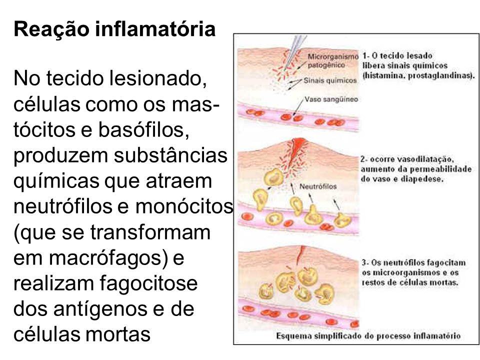 Reação inflamatória No tecido lesionado, células como os mas- tócitos e basófilos, produzem substâncias químicas que atraem neutrófilos e monócitos (q