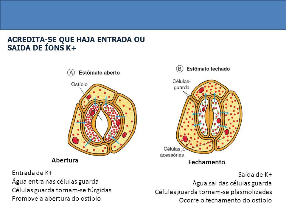 ACREDITA-SE QUE HAJA ENTRADA OU SAIDA DE ÍONS K+ Abertura Entrada de K+ Água entra nas células guarda Células guarda tornam-se túrgidas Promove a abertura do ostíolo Fechamento Saída de K+ Água sai das células guarda Células guarda tornam-se plasmolizadas Ocorre o fechamento do ostiolo