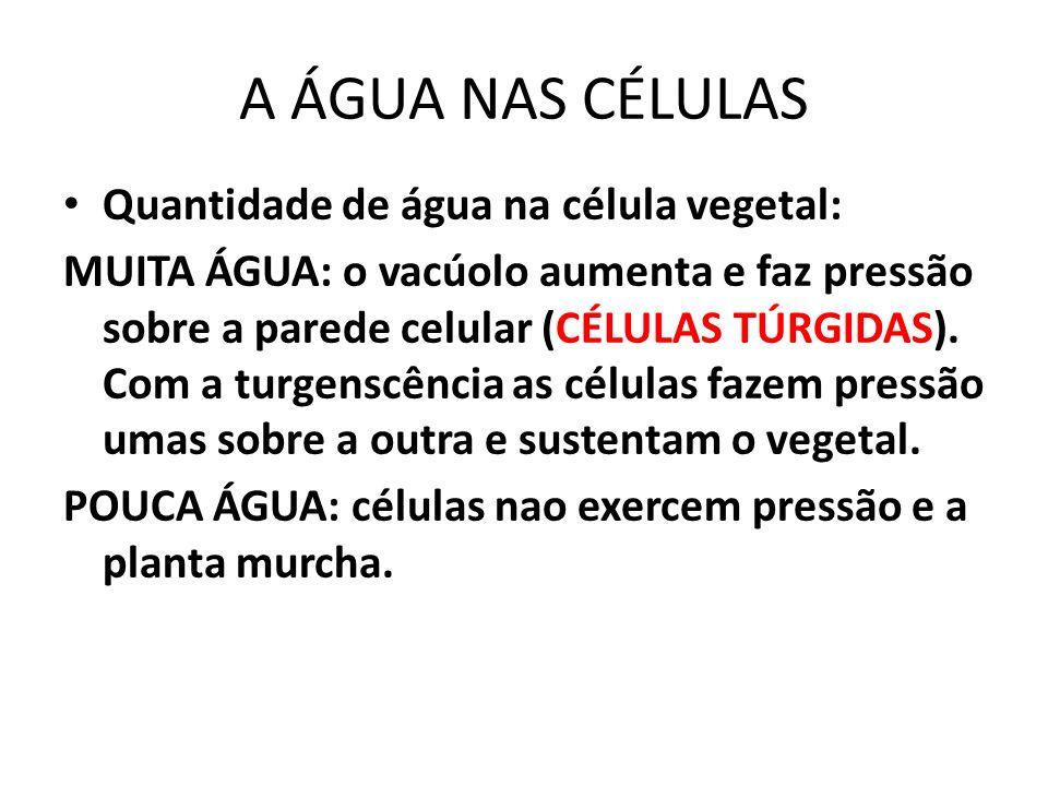 Quantidade de água na célula vegetal: MUITA ÁGUA: o vacúolo aumenta e faz pressão sobre a parede celular (CÉLULAS TÚRGIDAS).