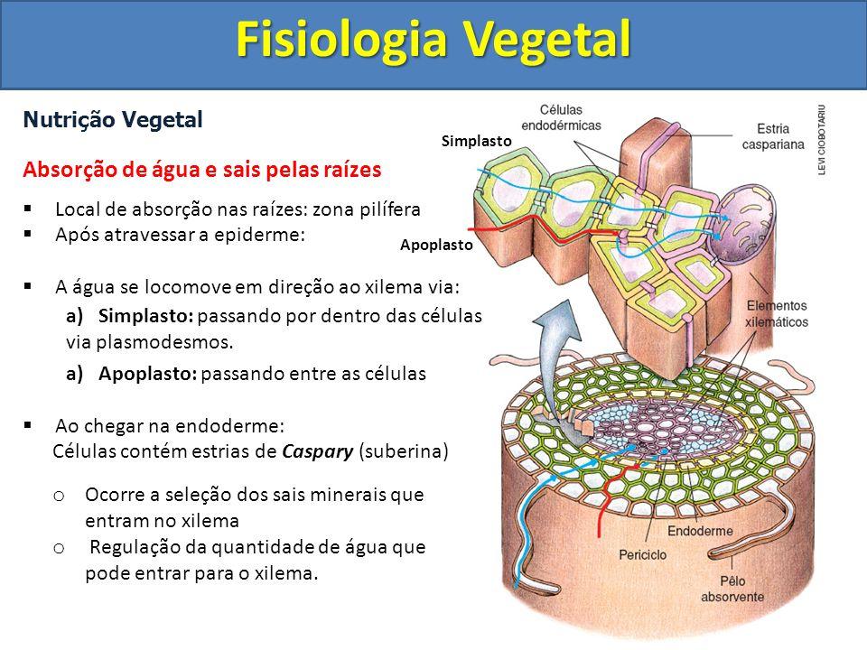 Nutrição Vegetal Absorção de água e sais pelas raízes Local de absorção nas raízes: zona pilífera Após atravessar a epiderme: A água se locomove em direção ao xilema via: a)Simplasto: passando por dentro das células via plasmodesmos.