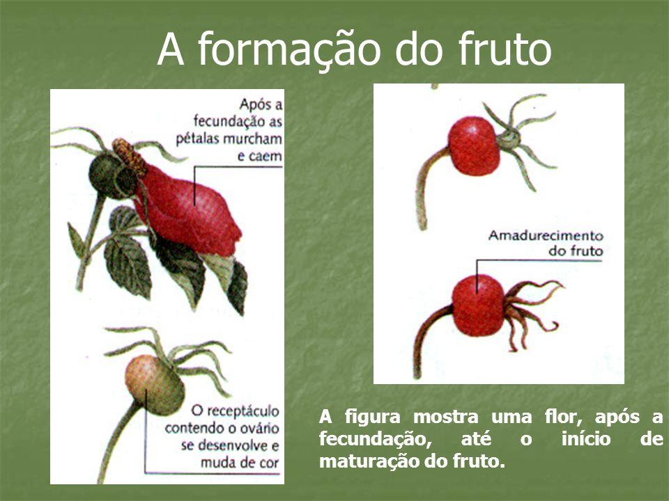 A formação do fruto A figura mostra uma flor, após a fecundação, até o início de maturação do fruto.