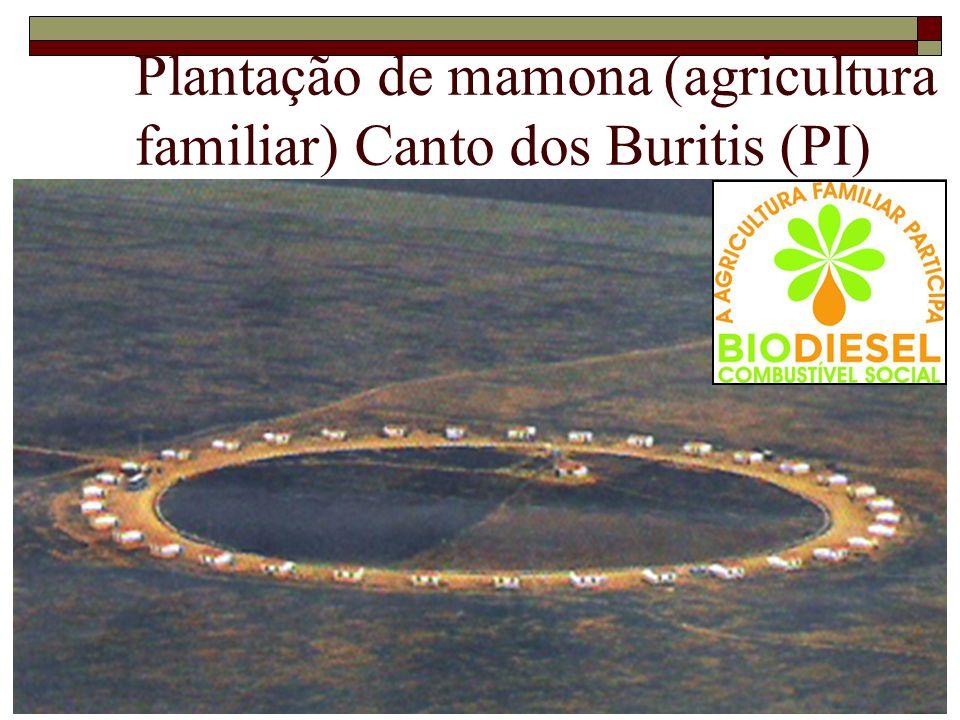 Plantação de mamona (agricultura familiar) Canto dos Buritis (PI)
