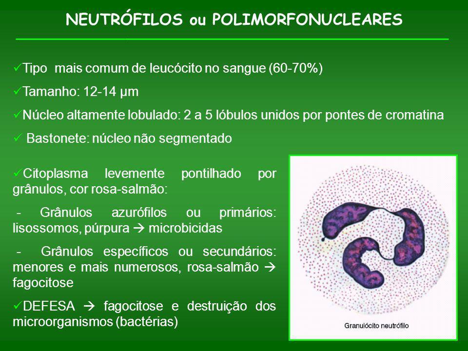NEUTRÓFILOS ou POLIMORFONUCLEARES Citoplasma levemente pontilhado por grânulos, cor rosa-salmão: - Grânulos azurófilos ou primários: lisossomos, púrpu