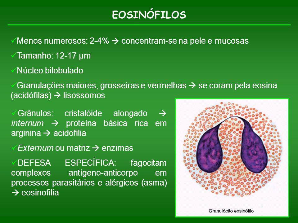 EOSINÓFILOS Menos numerosos: 2-4% concentram-se na pele e mucosas Tamanho: 12-17 µm Núcleo bilobulado Granulações maiores, grosseiras e vermelhas se c