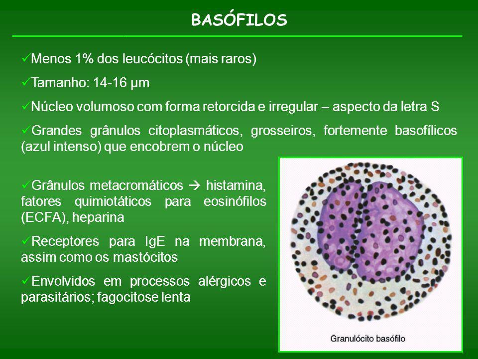BASÓFILOS Menos 1% dos leucócitos (mais raros) Tamanho: 14-16 µm Núcleo volumoso com forma retorcida e irregular – aspecto da letra S Grandes grânulos