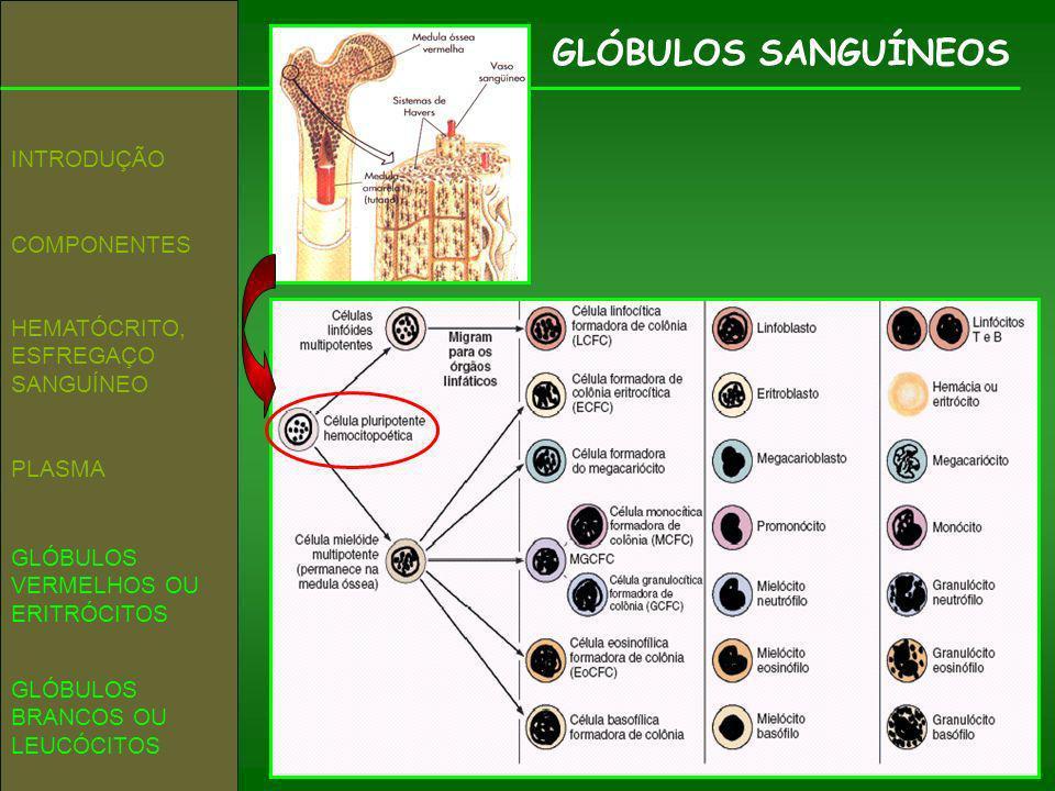GLÓBULOS SANGUÍNEOS COMPONENTES INTRODUÇÃO GLÓBULOS VERMELHOS OU ERITRÓCITOS HEMATÓCRITO, ESFREGAÇO SANGUÍNEO GLÓBULOS BRANCOS OU LEUCÓCITOS PLASMA