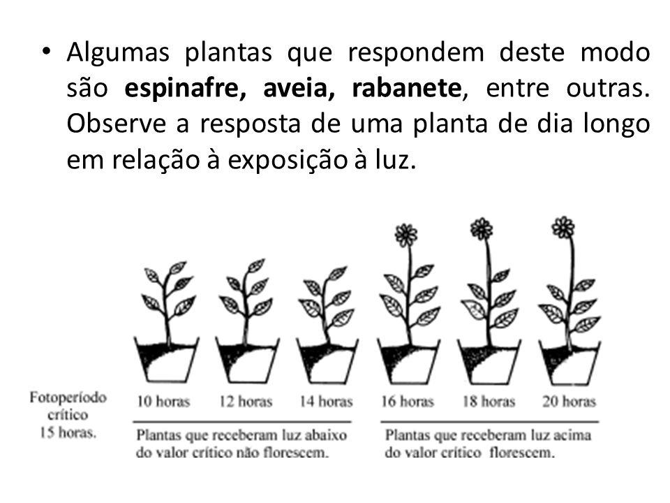 Algumas plantas que respondem deste modo são espinafre, aveia, rabanete, entre outras. Observe a resposta de uma planta de dia longo em relação à expo