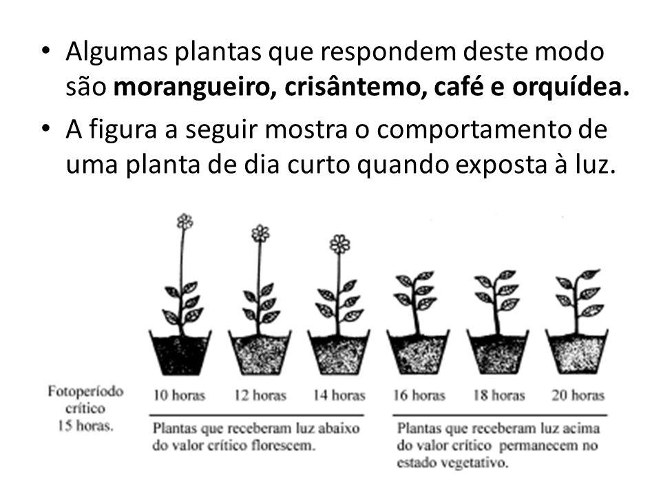 Algumas plantas que respondem deste modo são morangueiro, crisântemo, café e orquídea. A figura a seguir mostra o comportamento de uma planta de dia c