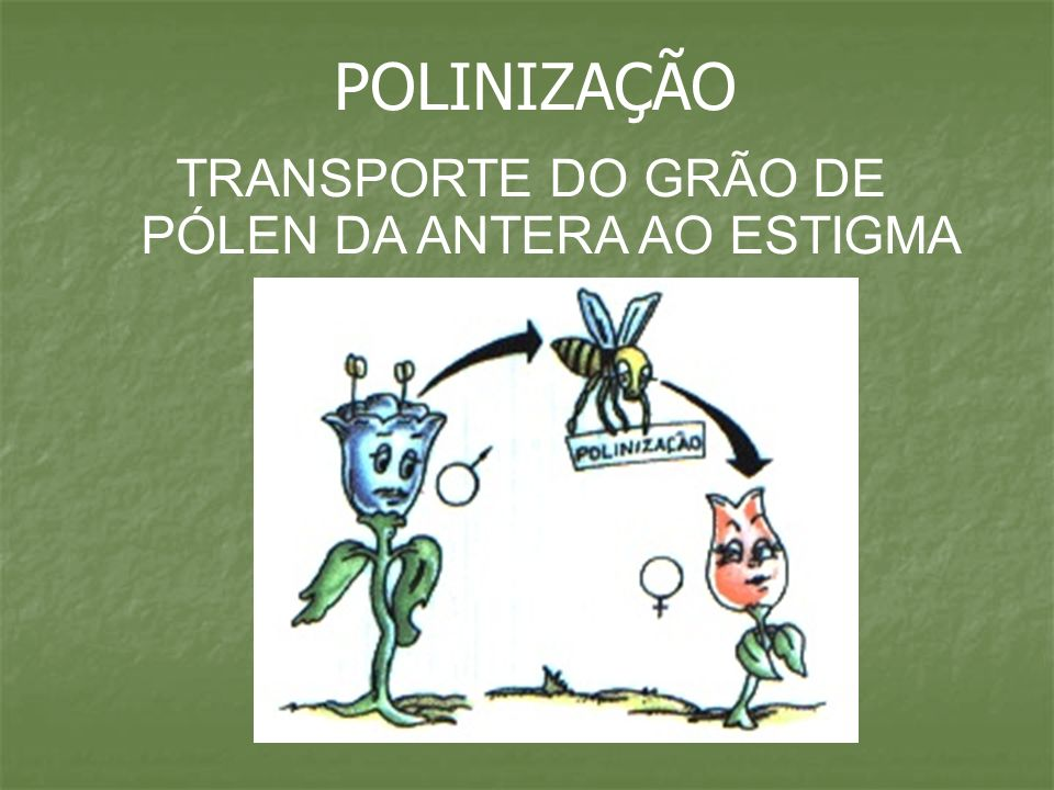 TIPOS DE POLINIZAÇÃO - - AUTOPOLINIZAÇÃO ou DIRETA: GRÃO DE PÓLEN SE DEPOSITA NO ESTIGMA DA MESMA FLOR.
