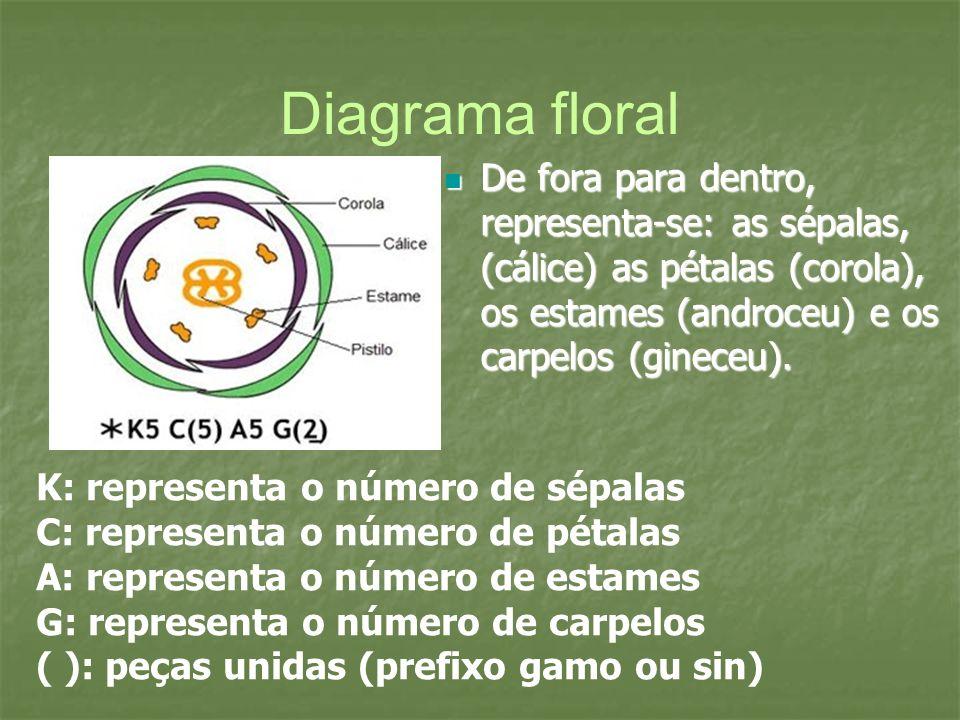 Diagrama floral De fora para dentro, representa-se: as sépalas, (cálice) as pétalas (corola), os estames (androceu) e os carpelos (gineceu). De fora p