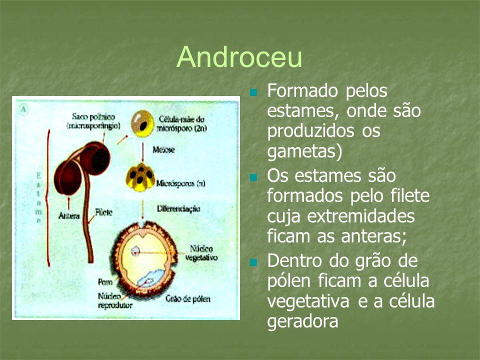 Formado pelos estames, onde são produzidos os gametas) Os estames são formados pelo filete cuja extremidades ficam as anteras; Dentro do grão de pólen