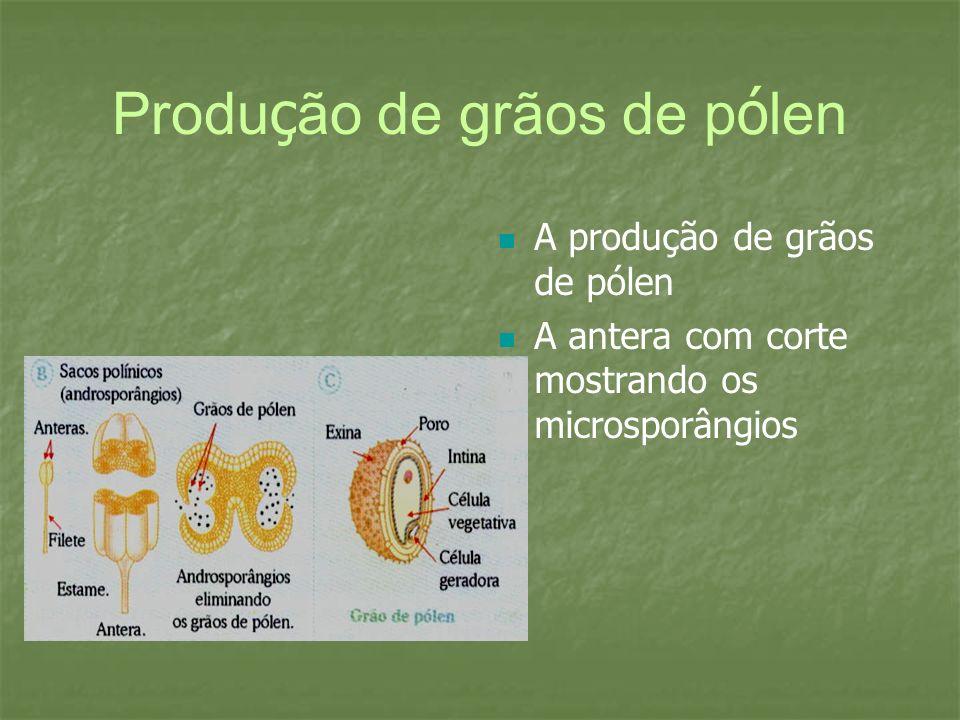 Produ ç ão de grãos de p ó len A produção de grãos de pólen A antera com corte mostrando os microsporângios