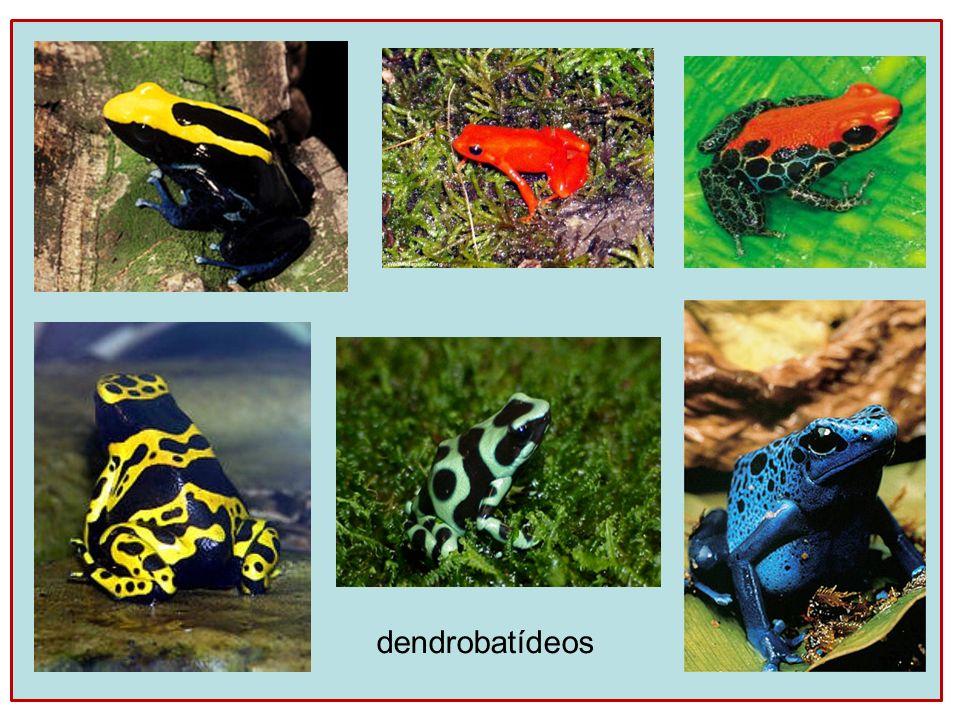 dendrobatídeos