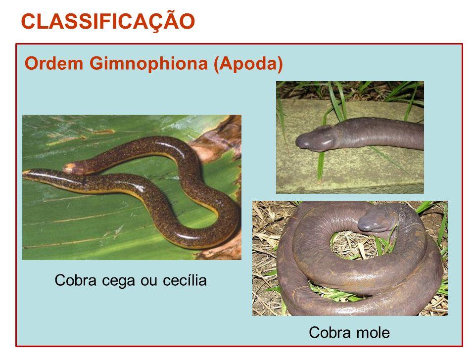 CLASSIFICAÇÃO Ordem Gimnophiona (Apoda) Cobra cega ou cecília Cobra mole