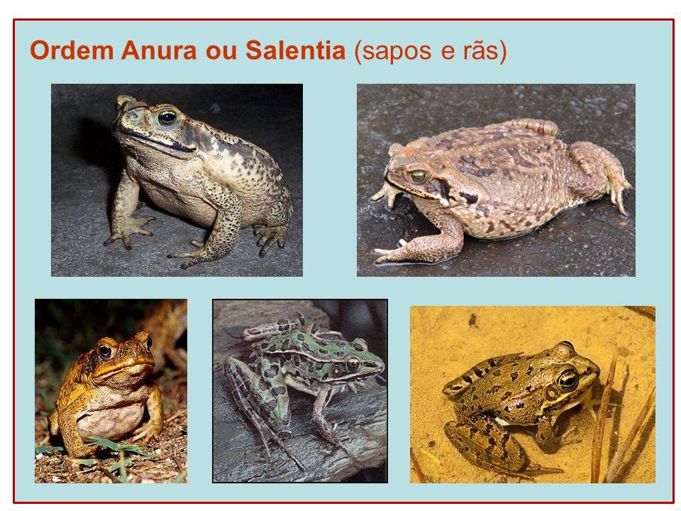 Ordem Anura ou Salentia (sapos e rãs)
