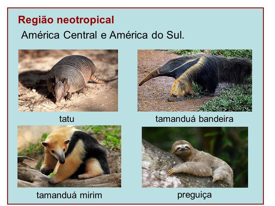 Região neotropical América Central e América do Sul. tatu tamanduá bandeira preguiça tamanduá mirim