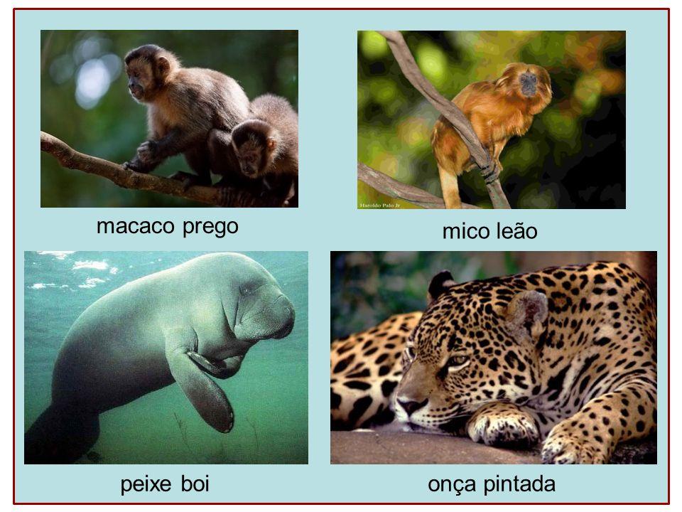 macaco prego mico leão peixe boionça pintada