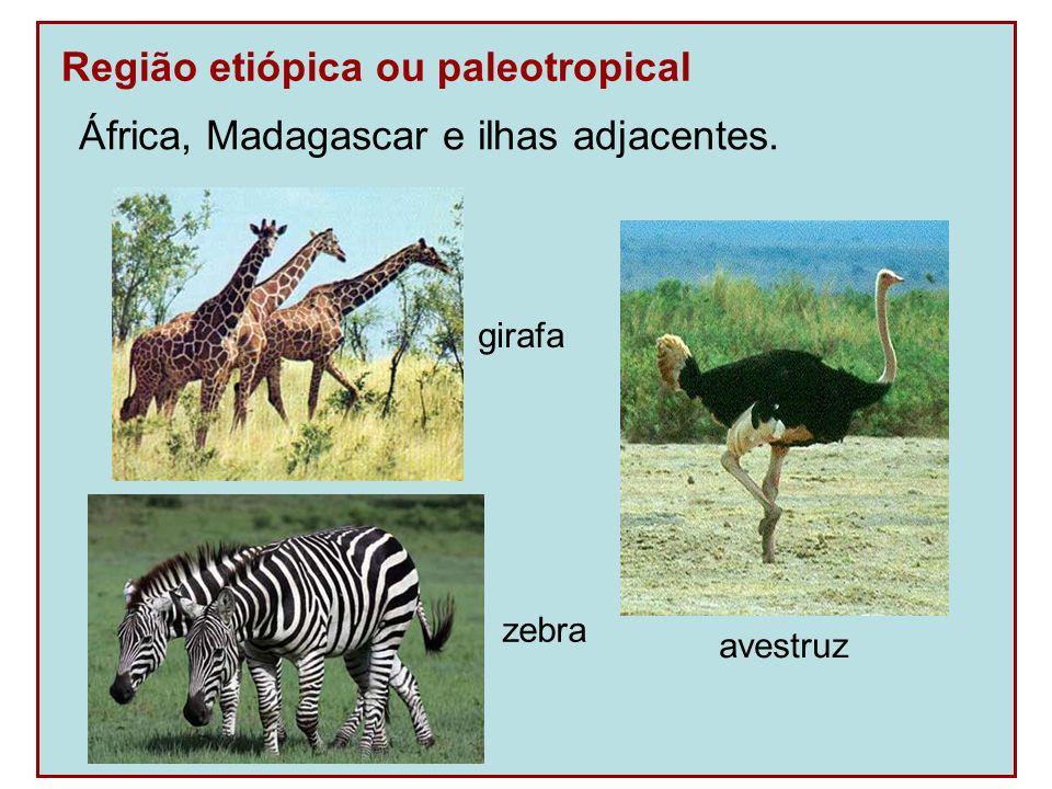 Região etiópica ou paleotropical África, Madagascar e ilhas adjacentes. girafa zebra avestruz