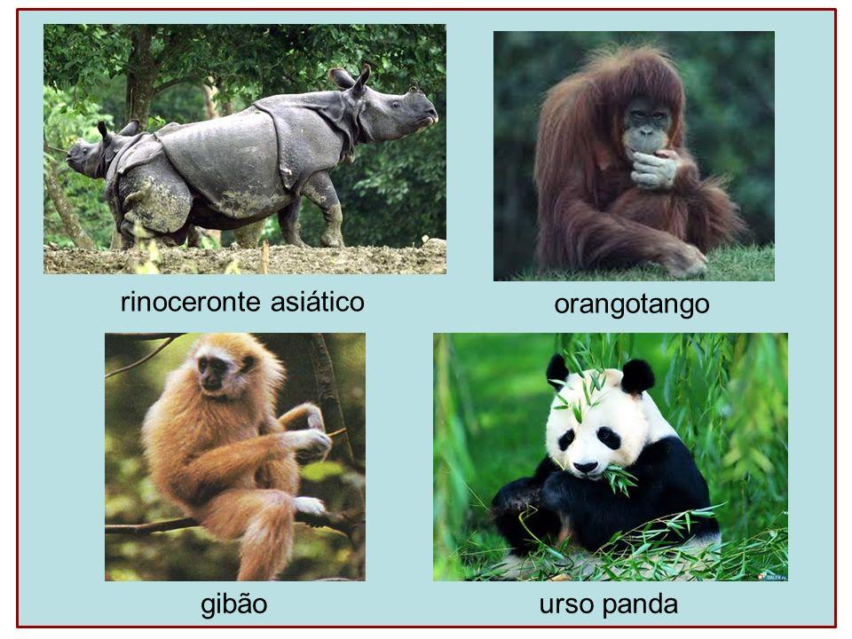 rinoceronte asiático orangotango gibãourso panda