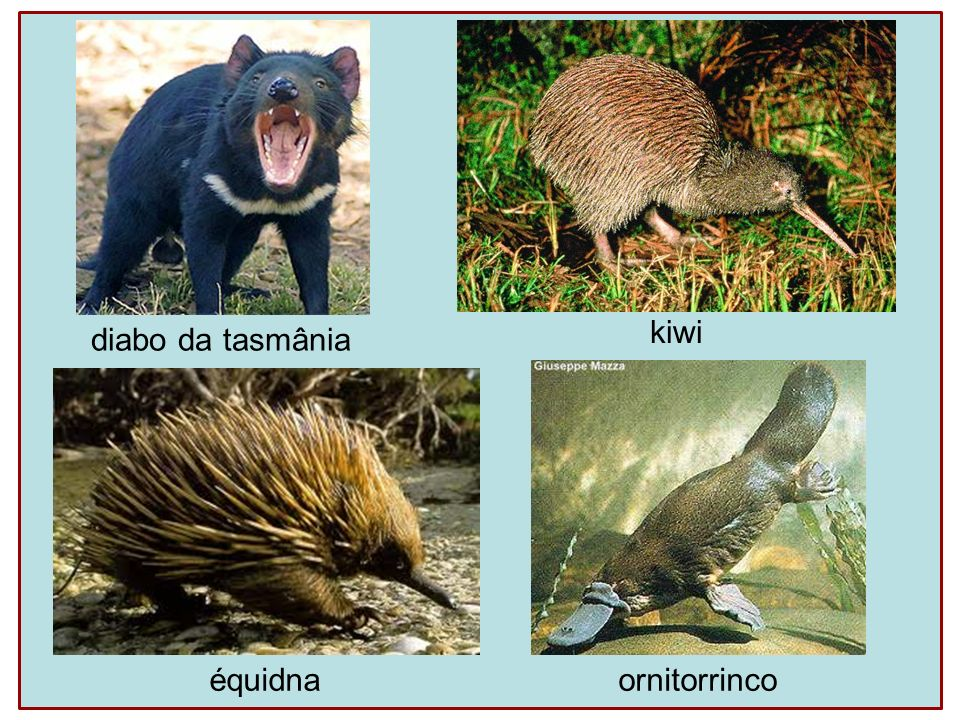 diabo da tasmânia équidna kiwi ornitorrinco