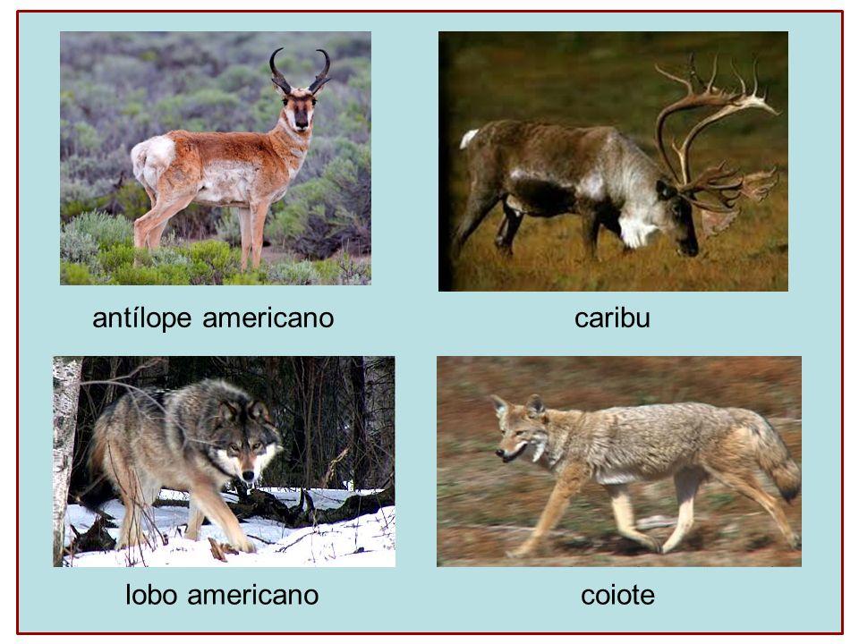 antílope americano caribu lobo americanocoiote